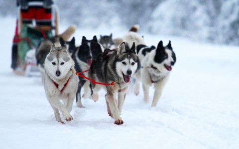 Randonnée en traîneau à chiens